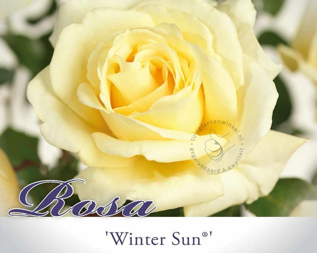 Rosa 'Winter Sun'