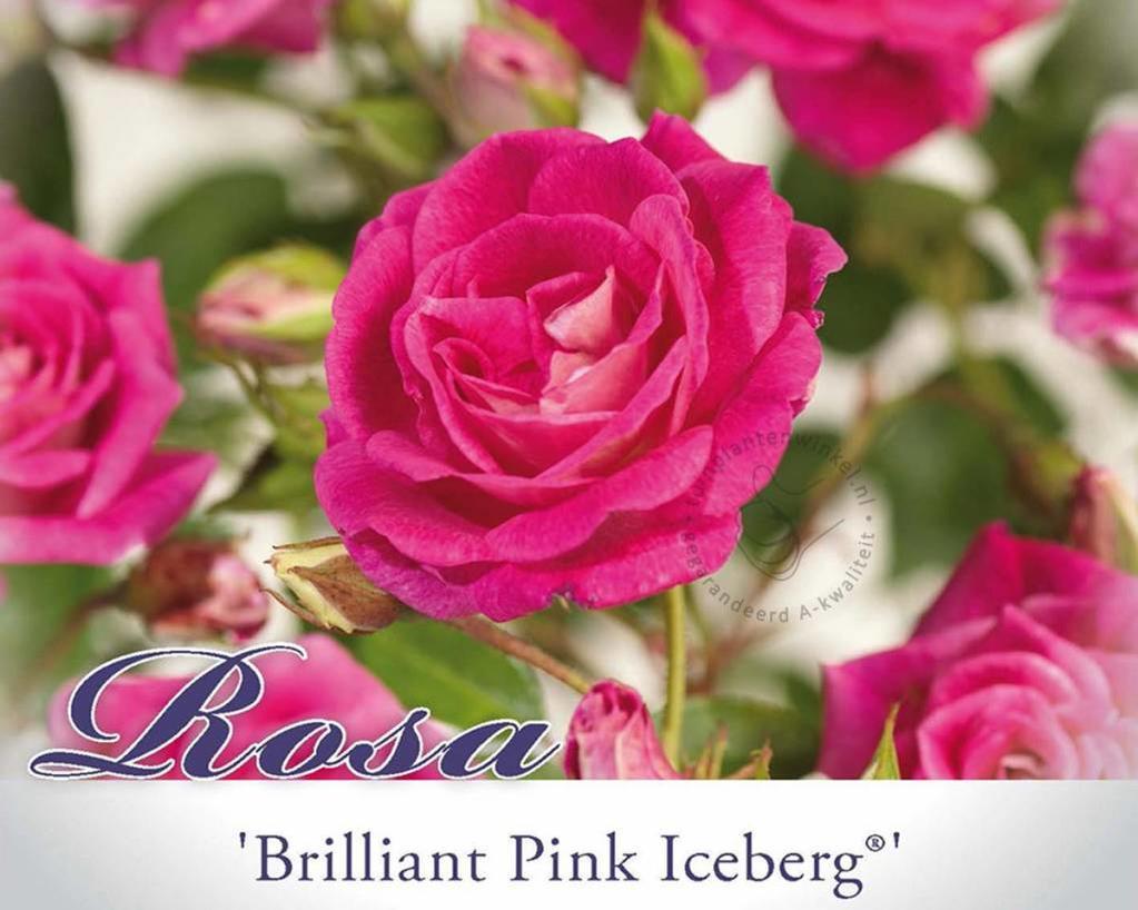Rosa 'Brilliant Pink Iceberg'