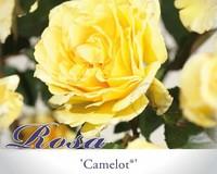 Rosa 'Camelot'