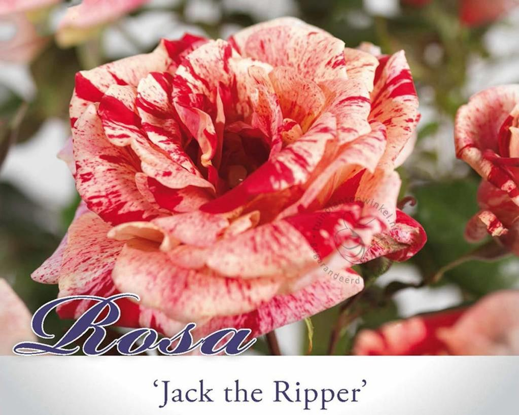 Rosa 'Jack the Ripper'