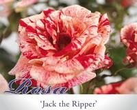 Rosa 'Jack the Ripper'