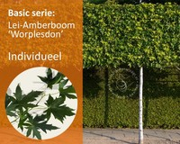 Lei-Amberboom - Basic - individueel geen extra's