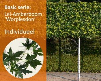 Lei-Amberboom - Basic - individueel geen extra's