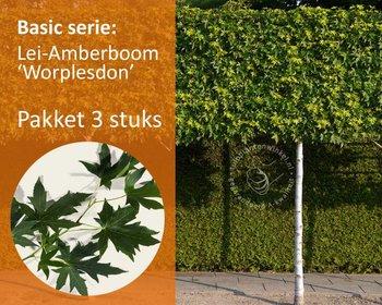 Lei-Amberboom - Basic - pakket 3 stuks + EXTRA'S!