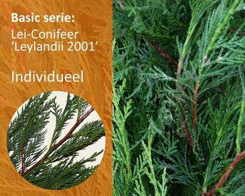 Lei-Conifeer leylandii - Basic - individueel geen extra's