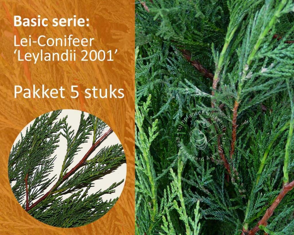 Lei-Conifeer leylandii - Basic - pakket 5 stuks + EXTRA'S!