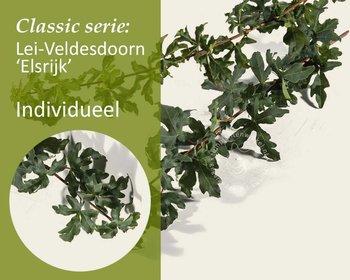 Lei-Veldesdoorn - Classic - individueel geen extra's