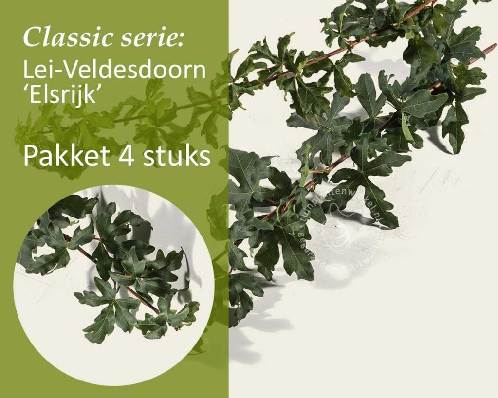 Lei-Veldesdoorn - Classic - pakket 4 stuks + EXTRA'S!