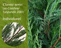Lei-Conifeer leylandii - Classic - individueel geen extra's