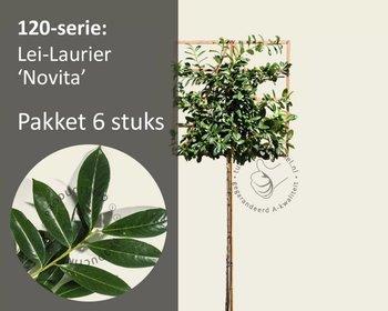 Lei-Laurier 'Novita' - 120 - pakket 6 stuks + EXTRA'S!