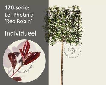 Lei-Photinia - 120 - individueel geen extra's