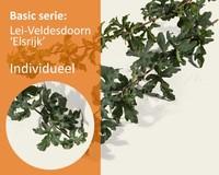 Lei-Veldesdoorn - Basic - individueel geen extra's