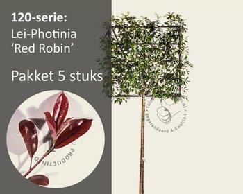 Lei-Photinia - Hoogstam - pakket 5 stuks + EXTRAS!