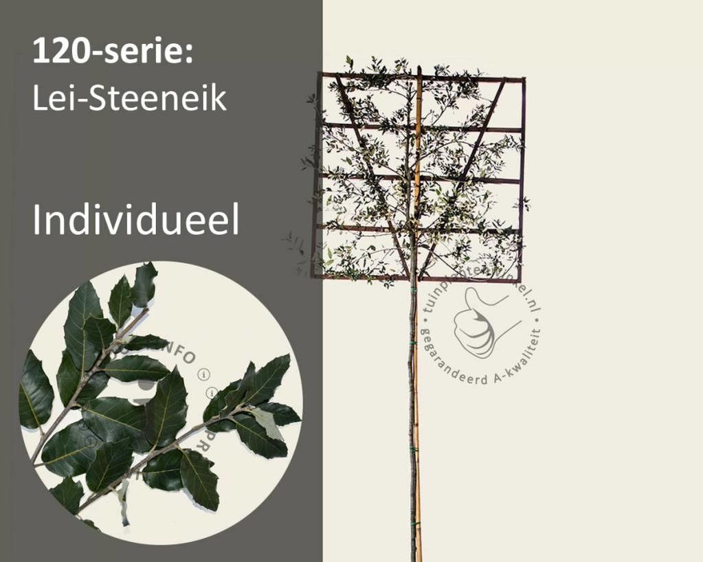Lei-Steeneik - Hoogstam - individueel geen extra's