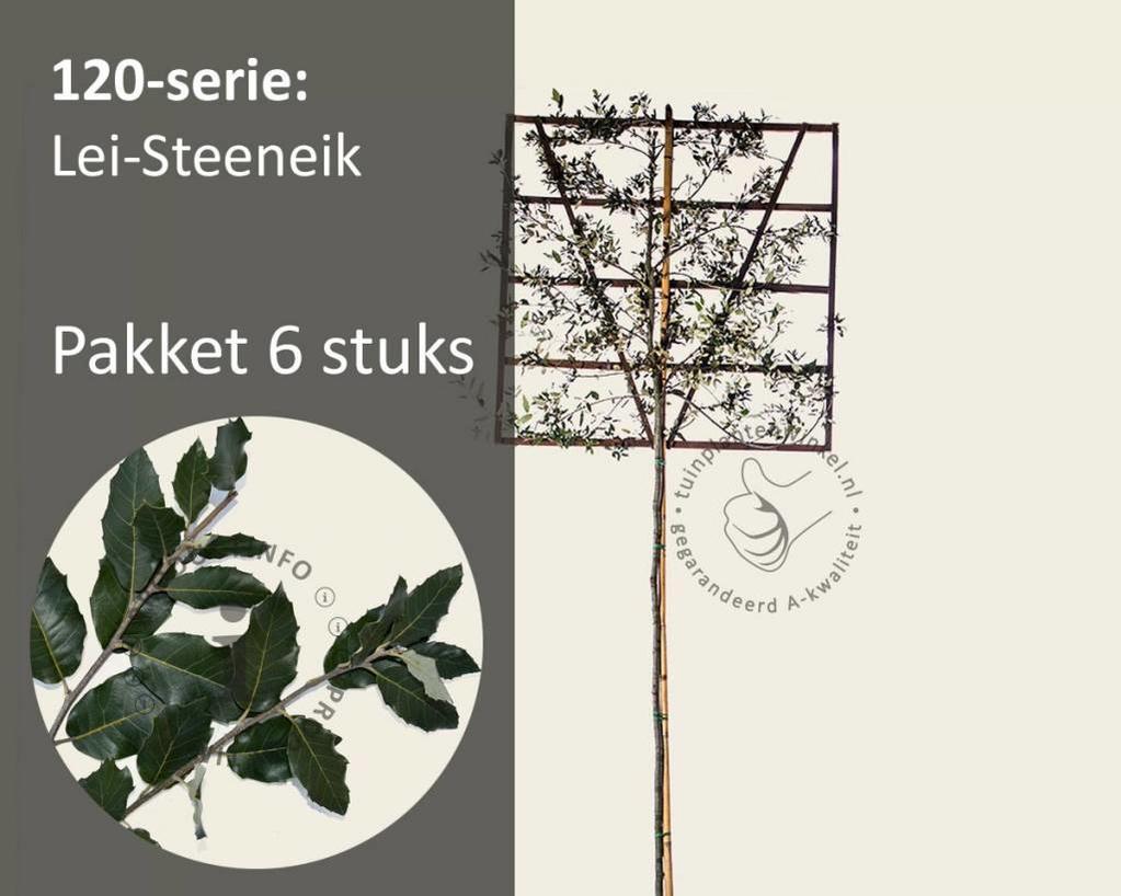 Lei-Steeneik - Hoogstam - pakket 6 stuks + EXTRA'S!