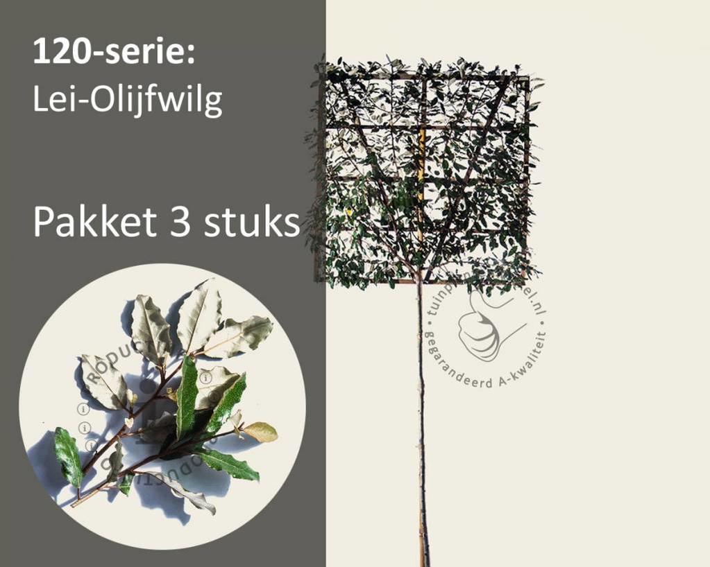 Lei-Olijfwilg - Hoogstam - pakket 3 stuks + EXTRA'S!