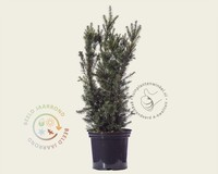 Taxus media 'Hicksii' 80/90 - in pot