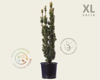 Taxus baccata 'David' 80/90 - in pot - XL