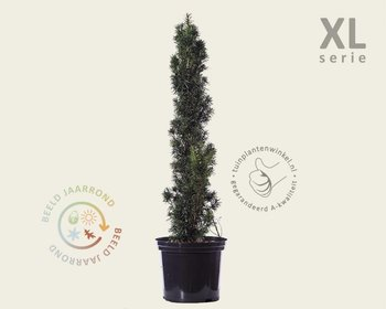 Taxus baccata 'Fastigiata' 80/100 - in pot - XL