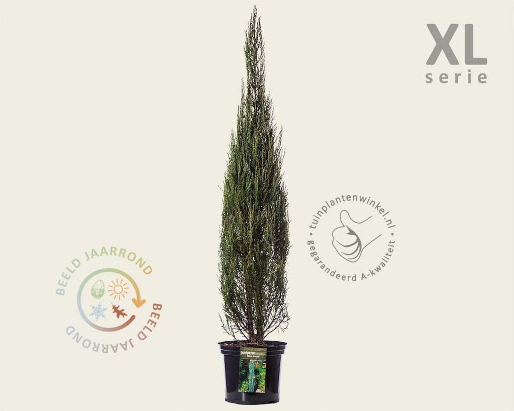 Juniperus scopulorum 'Blue Arrow' 100/125 - in pot - XL