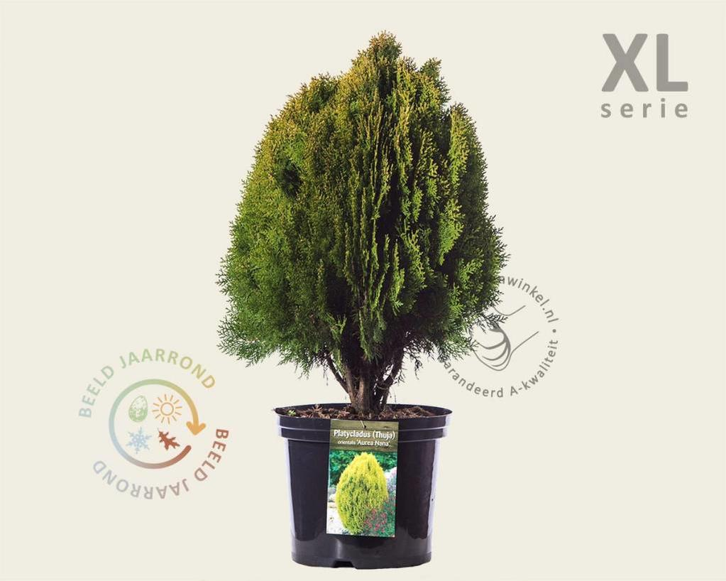 Thuja occidentalis 'Aurea Nana' 50/80 - in pot - XL