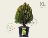 Thuja occidentalis 'Aurea Nana' 50/80 - in pot - XL