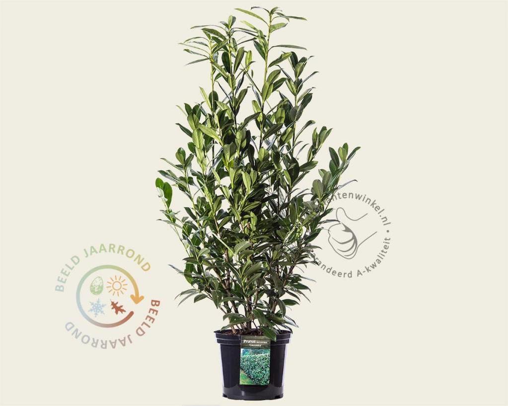 Prunus lauroceracus 'Caucasica' 100/125 - in pot