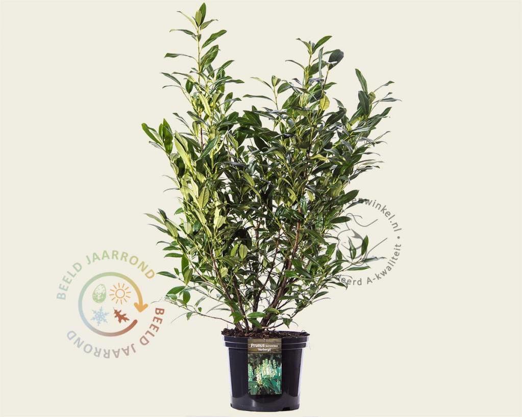 Prunus lauroceracus 'Herbergii' 80/100 - in pot