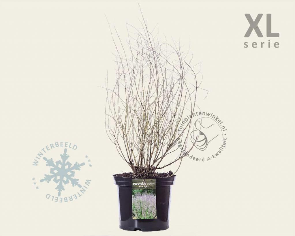 Perovskia atriplicifolia 'Blue Spire' - XL