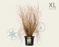 Pennisetum alopecuroides 'Moudry' - XL