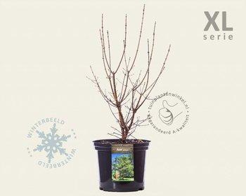 Acer griseum - XL