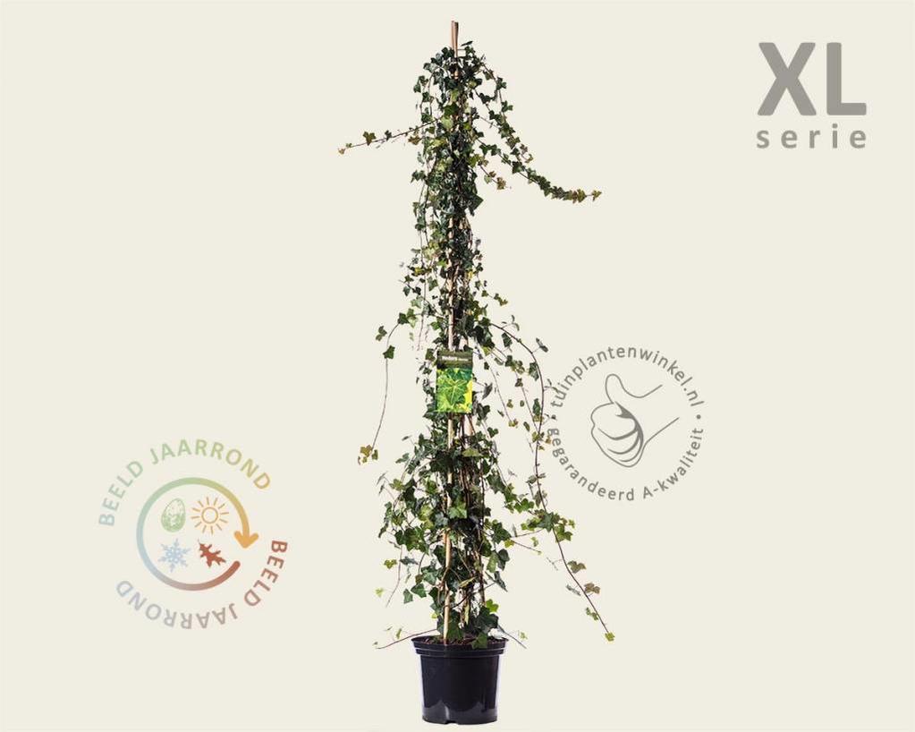Hedera hibernica 175/200 cm - XL