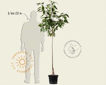 Prunus avium 'Lapins' - halfstam