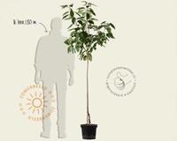 Prunus avium 'Van' - halfstam