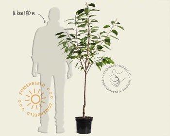 Prunus avium 'Lapins' - laagstam