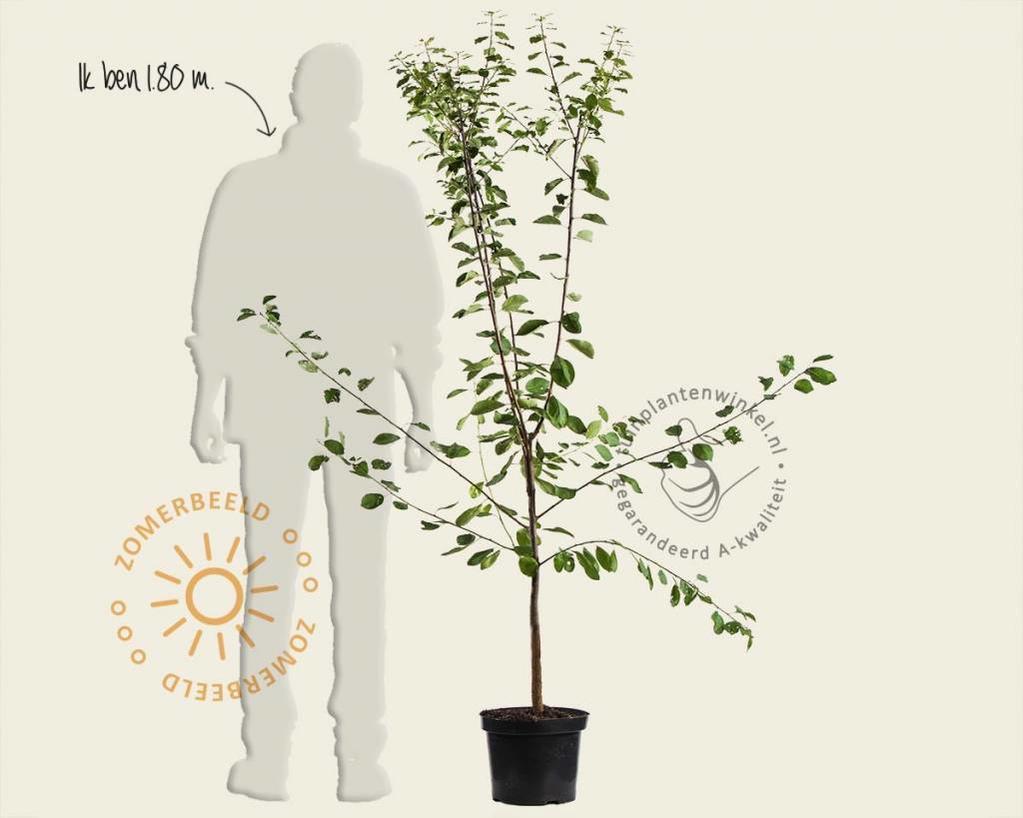 Prunus domestica 'Reine Claude D'Althan' - laagstam