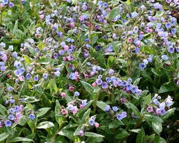 Pulmonaria saccharata 'Mrs. Moon'