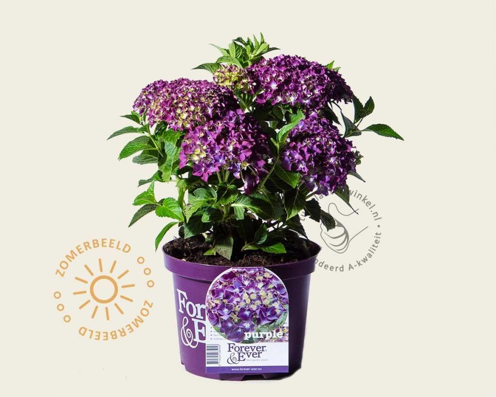 Hydrangea macrophylla 'Forever & Ever' (Paars)
