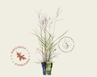 Miscanthus sinensis 'Aperitif'