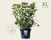 Viburnum tinus 'Gwenllian' - XL
