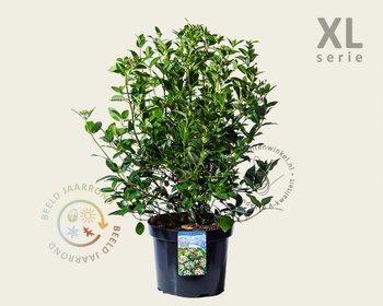 Viburnum tinus - XL