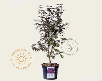 Acer palmatum 'Bloodgood' 070/080
