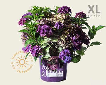 Hydrangea macrophylla 'Forever & Ever' (Paars) - XL