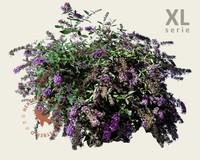 Buddleja davidii 'Lilac Chip' - XL