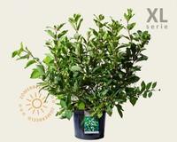 Cephalanthus occidentalis - XL