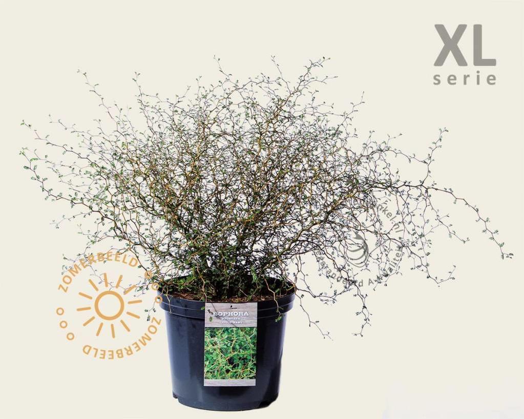 Sophora prostrata 'Little Baby' - XL