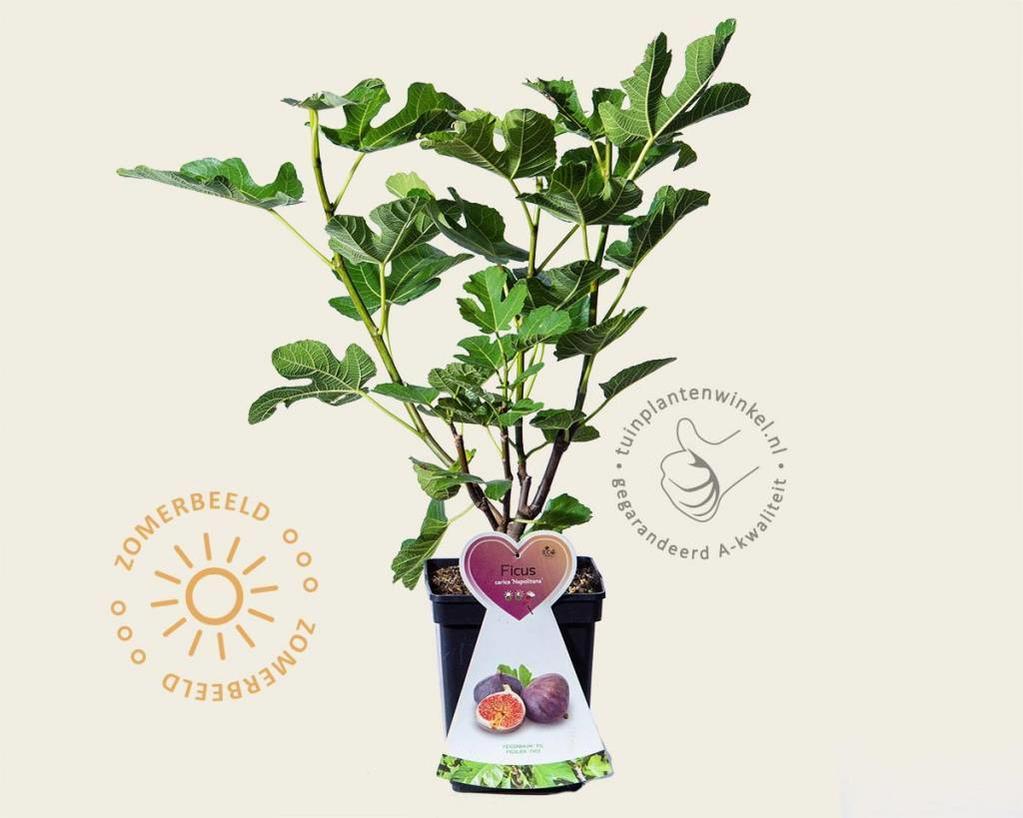 Ficus carica 'Napolitana' - struik
