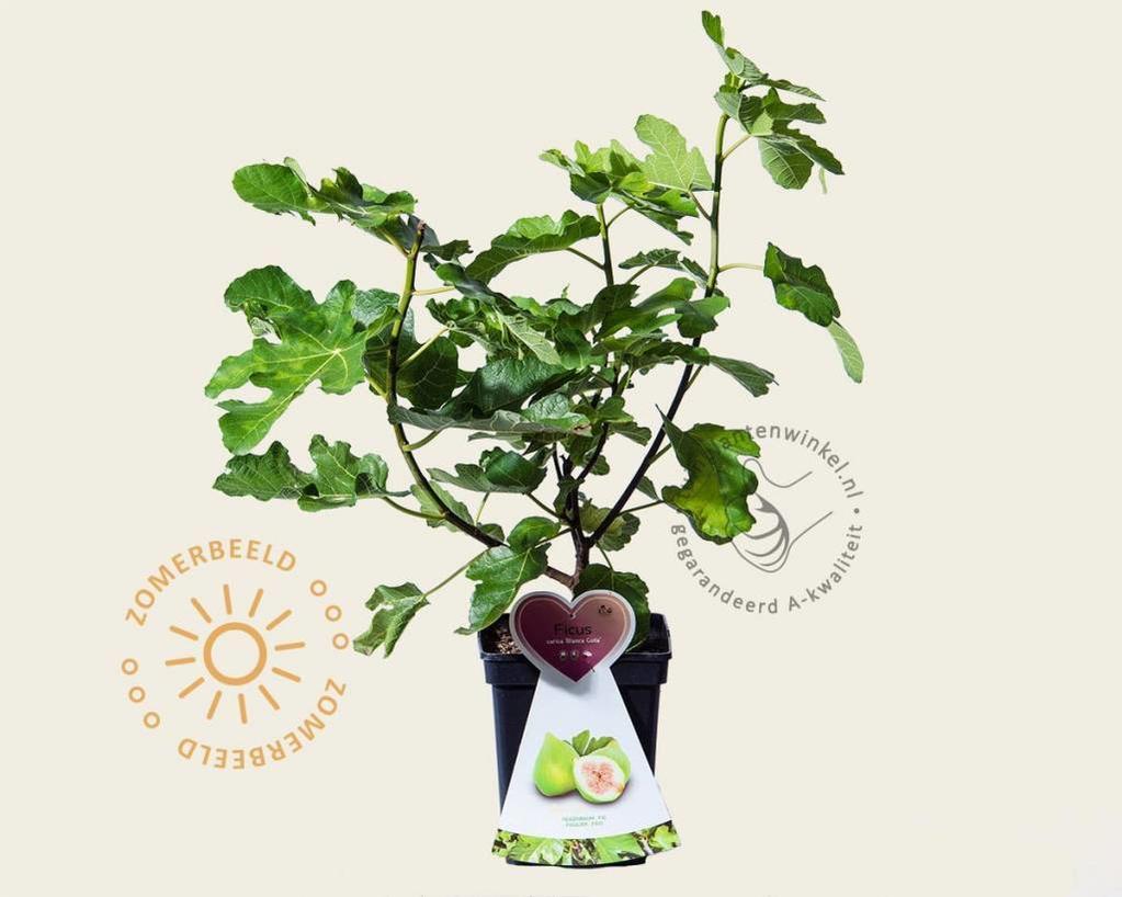 Ficus carica 'Blanca Gota' - struik