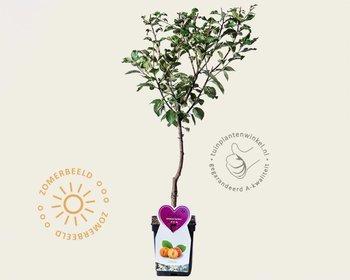 Prunus domestica 'Aprimera' - patio