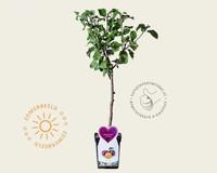 Prunus domestica 'Czar' - patio